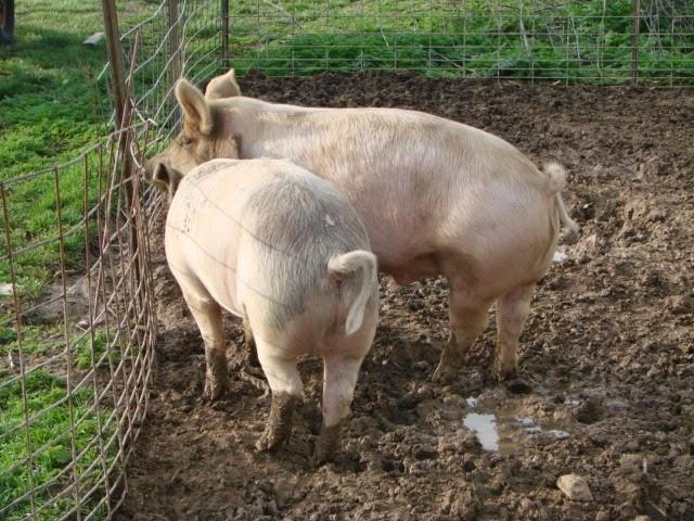 Pork Butchering 2015